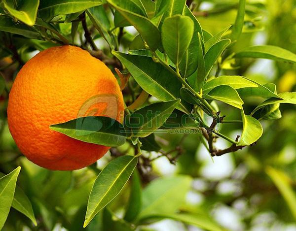 สารสกัดจากส้ม (Citrus Auratium) - รับผลิตอาหารเสริม