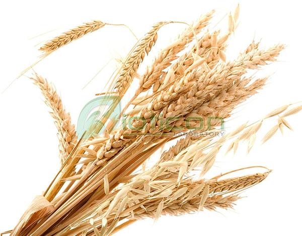 สารสกัดจมูกข้าว (Wheat protein extract) - รับผลิตอาหารเสริม